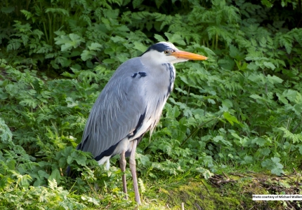 A big bird - the Heron - often in City waters