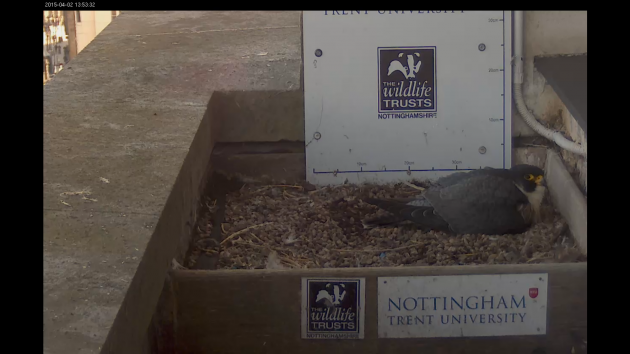 Peregrine sitting on the eggs