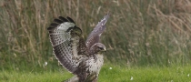Buzzard (Buteo buteo) © Sean Browne