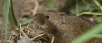 Field vole (Microtus agrestis) © Darren Smith