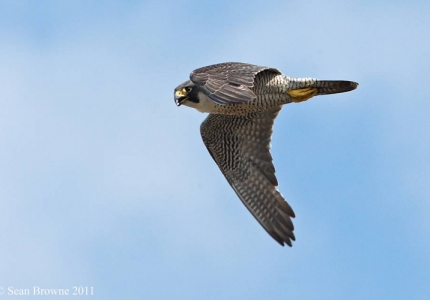 An Urban soarer - the peregrine (c) Sean Browne