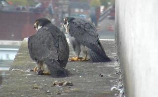 A screen capture of the peregrines as they were first seen together after almost 24hours, sent in by Keren Young.