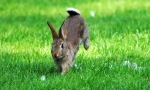 Rabbit (Oryctolagus cuniculus) © Amy Lewis