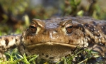 Common toad (Bufo bufo) © Sean Browne