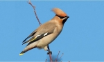 Waxwing © Mike Vickers