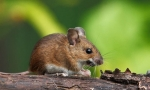 Wood Mouse (Apodemus sylvaticus) © Sean Browne